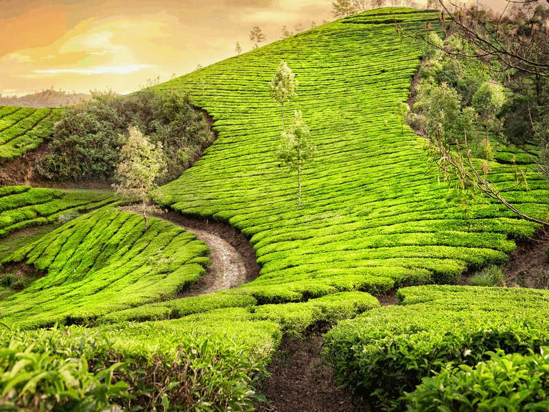 munnar-kerala-tea-gardens