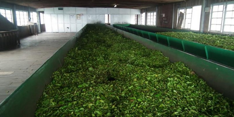 kolukkumalai-tea-factory-tea-processing