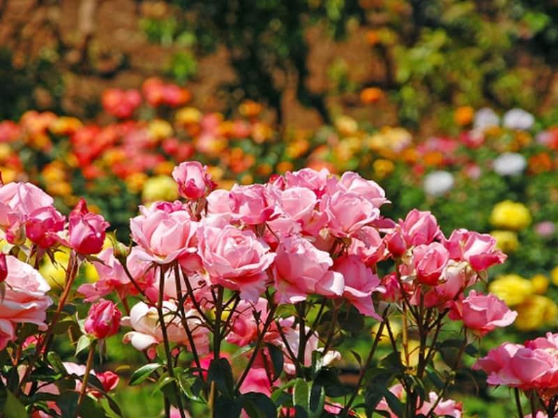 rose-gardens-munnar05